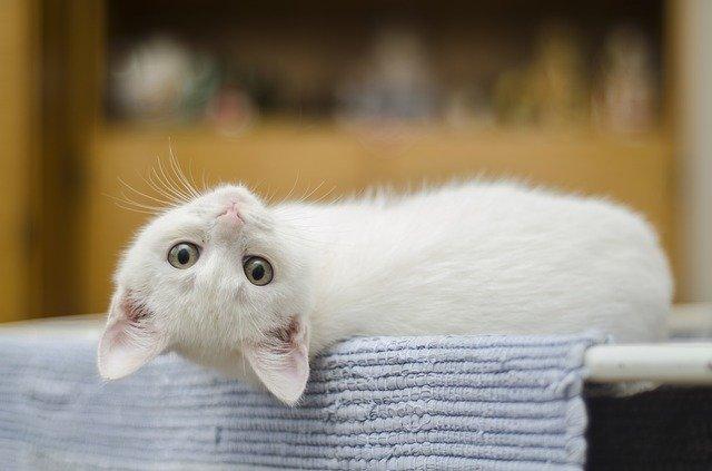 jak nauczyć kota sikać do kuwety