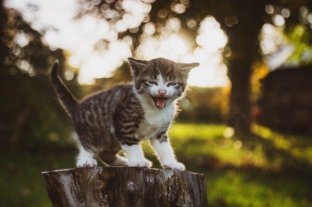 jak nauczyć małego kota korzystania z kuwety
