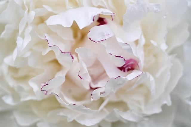 korzeń piwonii białej